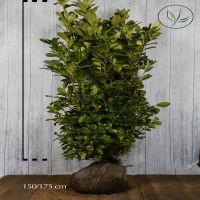 Laurier cerise 'Rotundifolia' En motte 150-175 cm Qualité extra