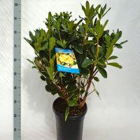 Rhododendron 'Horizon Monarch'  Conteneur 60-70 cm Qualité extra
