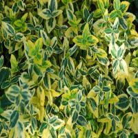 Fusain persistant 'Emerald 'n Gold'