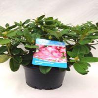 Rhododendron 'Germania'  Conteneur 60-70 cm Qualité extra