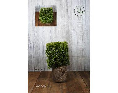 Buis - Cubes Haies prêtes à planter 30h x 30 x 30 cm Prêts à planter