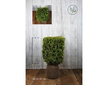 Buis - Cubes Haies prêtes à planter 60h x 50 x 50 cm Prêts à planter
