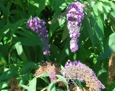 Arbre aux papillons 'Lochinch'
