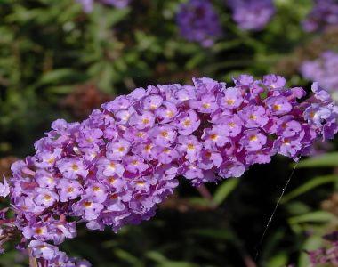Arbre aux papillons 'Nanho Blue'
