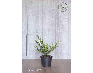 Houx crénelé 'Green Hedge'  Conteneur 25-30 cm Qualité extra