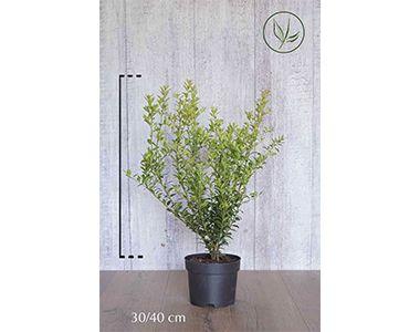 Houx crénelé 'Green Hedge'  Conteneur 30-40 cm Qualité extra