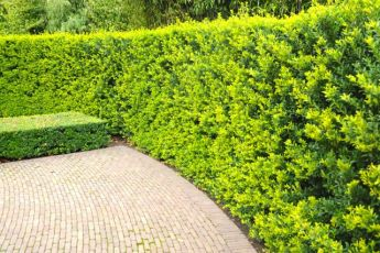 Houx crénelé 'Green Hedge'