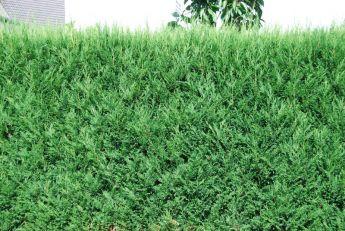 Cyprès de Leyland (vert)