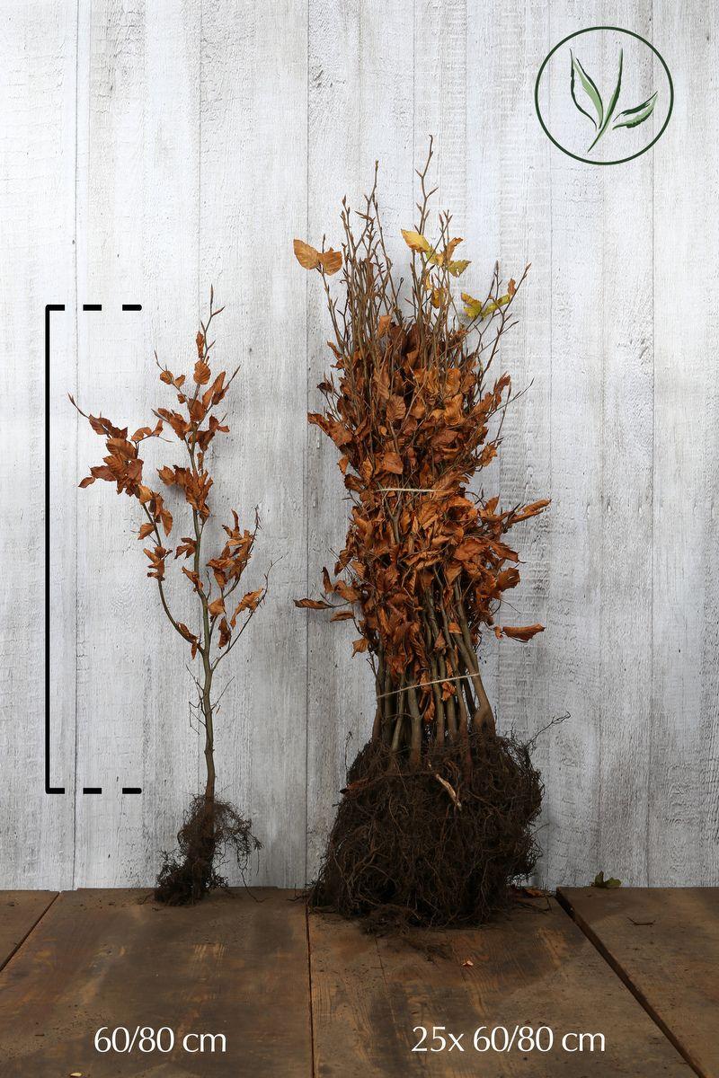 Hêtre commun, Hêtre vert  Racines nues 60-80 cm