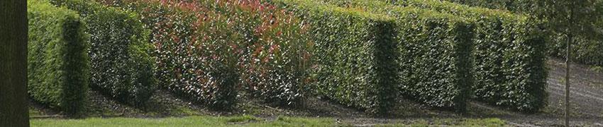 Avantages des plantes de haies matures