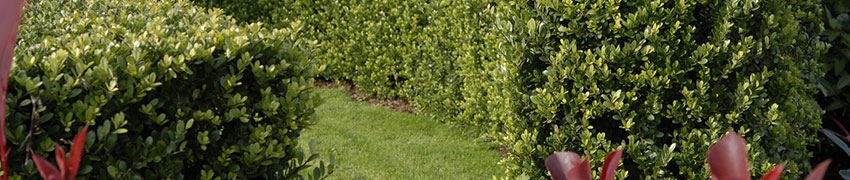 Ilex crenata comme alternative au Buxus