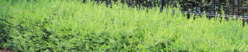 Planter le Chèvrefeuille arbustif