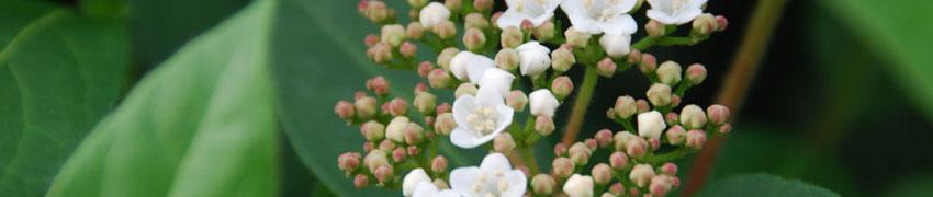 Acheter vos arbustes buissonnants et persistants en ligne
