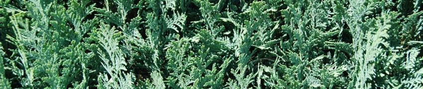 Acheter vos Cyprès de haie sur Plantesdehaies.fr