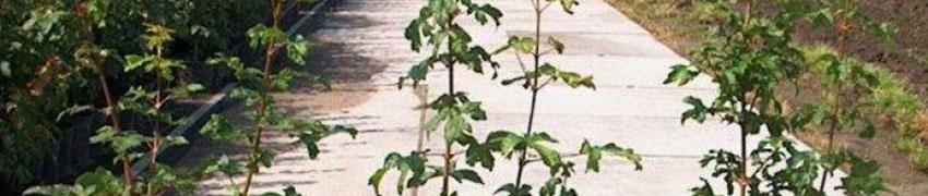 Acheter un Erable Champêtre surPlantesdehaies.fr