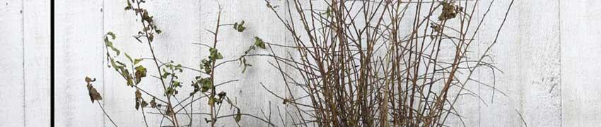 Acheter un Prunellier surPlantesdehaies.fr