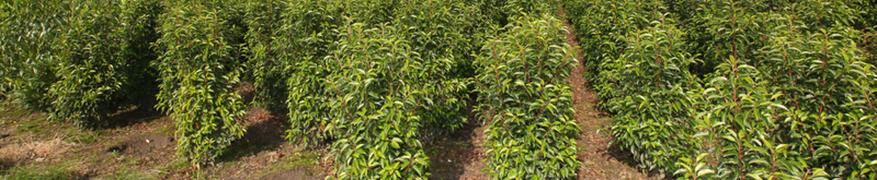 Acheter le Prunus lusitanica 'Angustifolia'