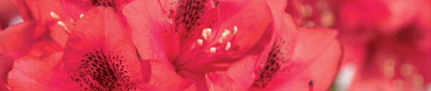 Acheter un Rhododendron