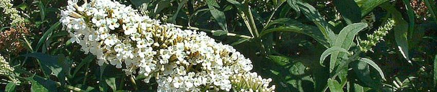 Arbre aux papillons : entretien