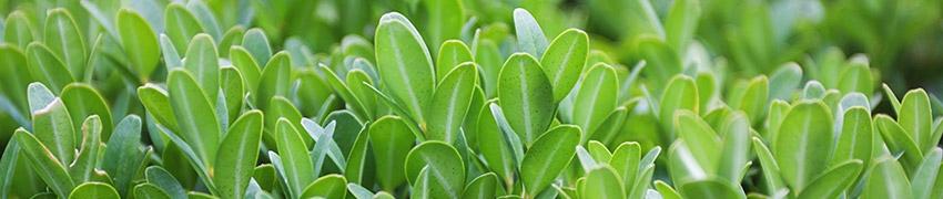 Arbustes à feuilles persistantes
