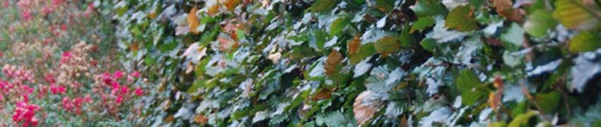 Arbustes de Hêtre en pot, en motte et racine nue