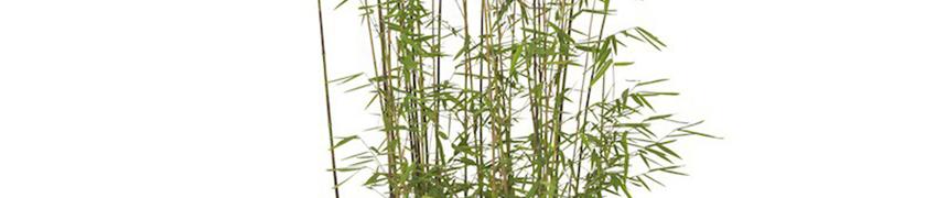 Le Bambou le plus coloré