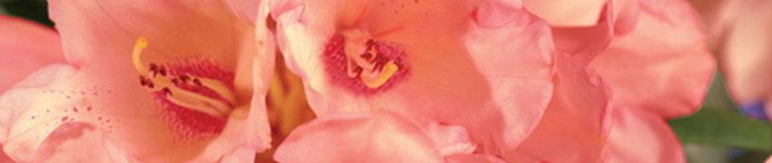 Conseils lors de la croissance de votre Rhododendron