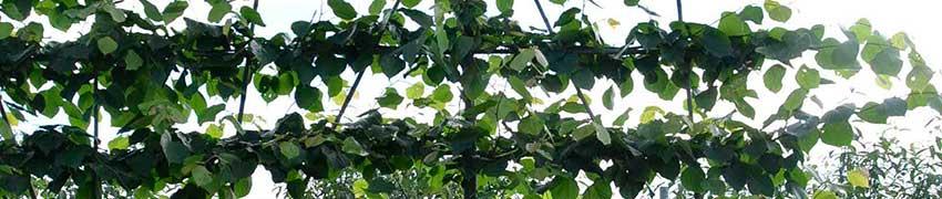 Des espaliers à croissance guidée récente en forme d'espalier