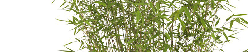 Fargesia Nitida ' Jiuzhaigou Red Panda
