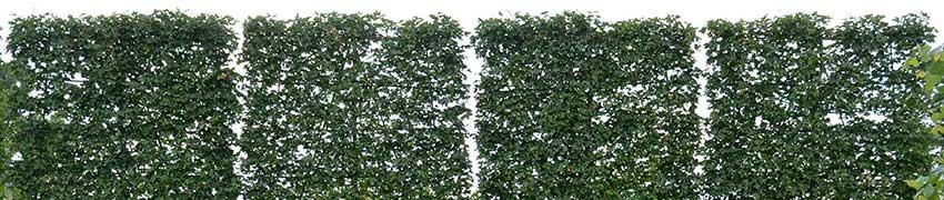 Forme de rideau à croissance guidée