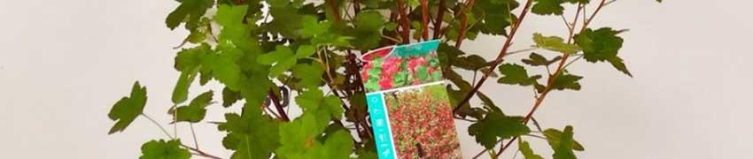 Acheter un Groseillier à fleurs King Edward VII