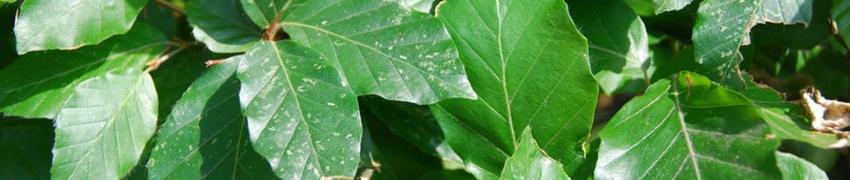 Haie de Hêtre Commun toujours en feuilles