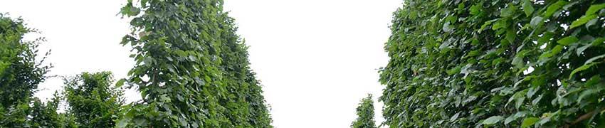 Les espaliers à croissance guidée récente en forme de rideau
