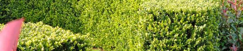 Plantation du houx japonais