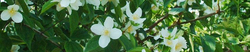 Planter et entretenir un Seringat