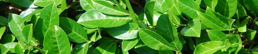 Quels sont les arbustes buissonnants vous convenant le mieux ?