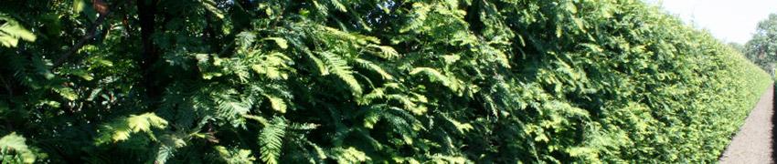 Séquoia dans le jardin
