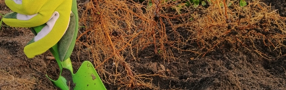 planter racines nues