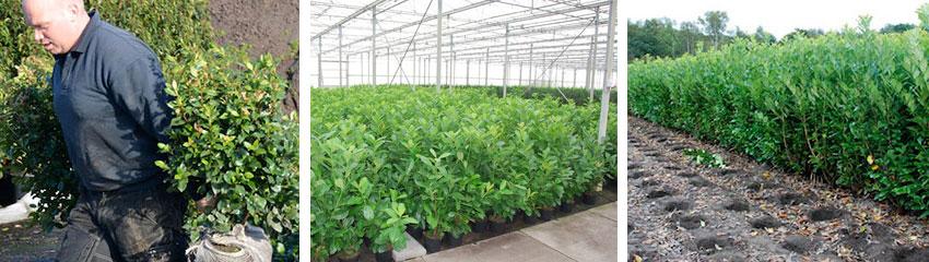 Commandez des plantes de haies