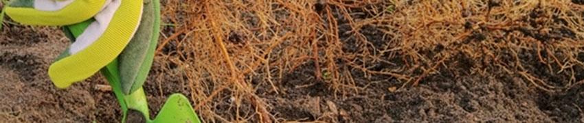 Lorsque vous achetez une plante de haie aux racines nues, vous achetez une plante sans terre sur les racines.