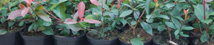 Plantes des haies en conteneur