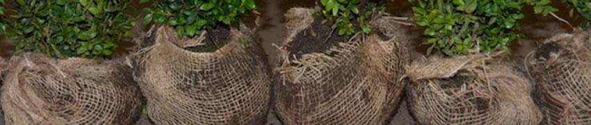 Planter plantes de haie en mottes