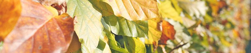 Plantes de haies de qualité en ligne
