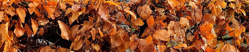 Plantes de haies en automne