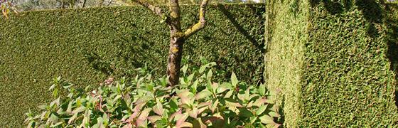 Planter le thuya plicata