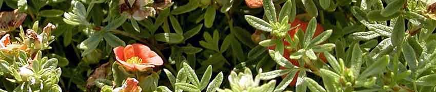 Potentille arbustive : plantation