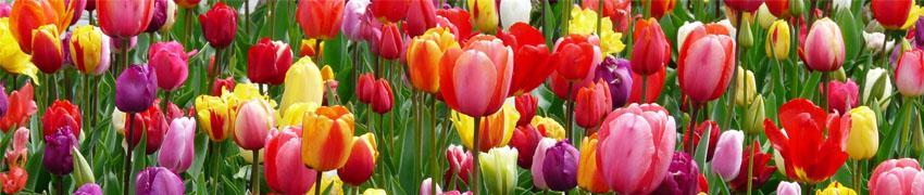 Verzorging en planten van bloembollen